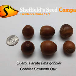 Quercus acutissima   Gobbler Gobbler Sawtooth Oak seed for sale