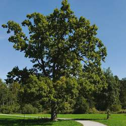 Quercus alba White Oak seed for sale