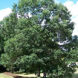 Quercus bicolor Swamp White Oak seed for sale