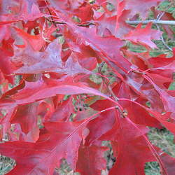 Quercus coccinea Scarlet Oak seed for sale