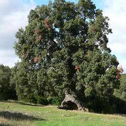 Quercus ilex Holly Oak, Ballota Oak, Holm Oak seed for sale