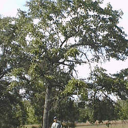 Quercus incana Bluejack Oak, Turkey Oak, Sand Jack seed for sale
