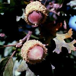 Quercus macrocarpa    Southern Bur Oak seed for sale