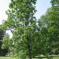 Quercus macrocarpa    Northern Zone 5 Mossycup White Oak, Bur Oak, Mossycup Oak seed for sale