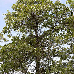Quercus marilandica Blackjack Oak seed for sale