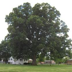 Quercus michauxii Swamp Chestnut Oak, Cow Oak seed for sale