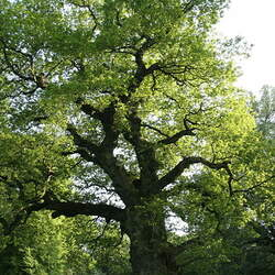 Quercus robur English Oak, Pedunculate Oak seed for sale