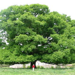 Quercus rubra Northern Red Oak seed for sale