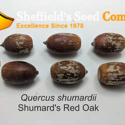 Quercus shumardii Shumard's Red Oak, Shumard's Oak seed for sale