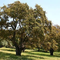 Quercus suber Cork Oak seed for sale