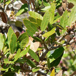 Quercus vacciniifolia Huckleberry Oak seed for sale
