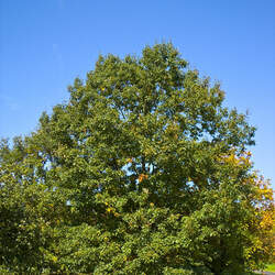 Quercus velutina Black Oak seed for sale