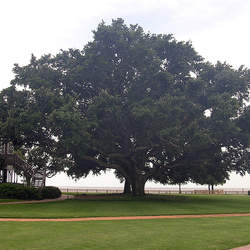 Quercus virginiana Live Oak seed for sale