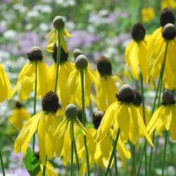 Ratibida pinnata Yellow Coneflower, Prairie Coneflower, Gray-head Coneflower, Gray-head Mexican-hat seed for sale