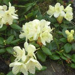 Rhododendron aureum Golden Rhododendron seed for sale