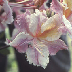 Rhododendron occidentale Western Azalea seed for sale