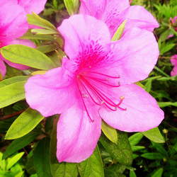 Rhododendron periclymenoides Pinxterbloom, Pink Azalea seed for sale