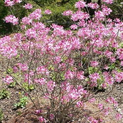 Rhododendron vaseyi Pinkshell Rhododendron, Pinkshell Azalea seed for sale