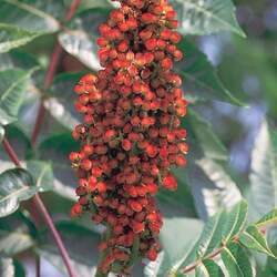 Rhus glabra Smooth Sumac seed for sale