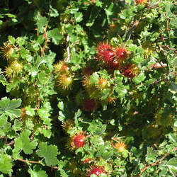 Ribes roezlii Sierra Gooseberry seed for sale