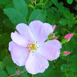 Rosa acicularis Prickly Rose seed for sale