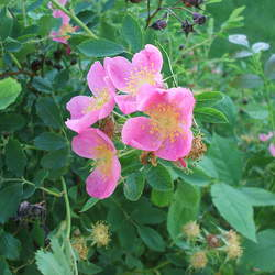 Rosa arkansana Prairie Rose, Arkansas Rose seed for sale