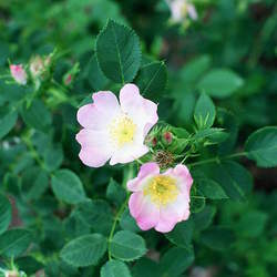Rosa blanda Meadow Rose, Smooth Rose seed for sale