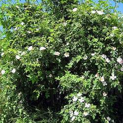 Rosa canina  Inermis Dog Rose, Brier Rose, Dog Brier, Thornless Dog Rose seed for sale