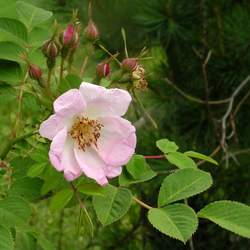 Rosa davidii Davids Rose, David's Rose seed for sale