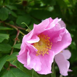 Rosa davurica Amur Rose, Cinnamon Rose, Daurian Rose seed for sale