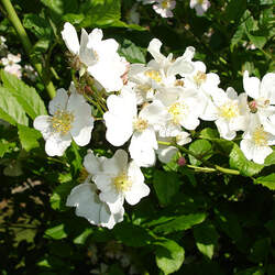 Rosa multiflora Japanese Rose, Baby Rose, Multiflora Rose seed for sale