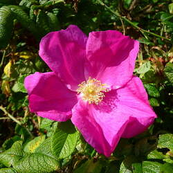Rosa x rugosa   Rubra Red Rugosa Rose seed for sale