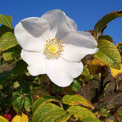 Rosa x rugosa   Alba White Rugosa Rose seed for sale