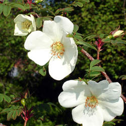 Rosa sericea Winged Thorn Rose seed for sale