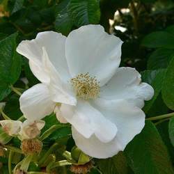 Rosa woodsii Wood's Rose, Woods' Rose seed for sale