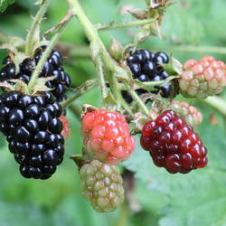 Rubus alleghaniensis Blackberry seed for sale