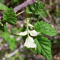 Rubus leucodermis Whitebark Raspberry, Blackcap Raspberry seed for sale