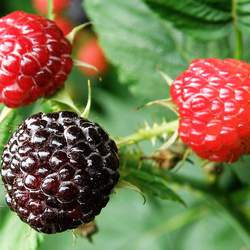 Rubus occidentalis Blackcap Raspberry, Thimbleberry, Black Raspberry seed for sale