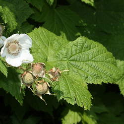 Rubus parviflorus Thimbleberry seed for sale