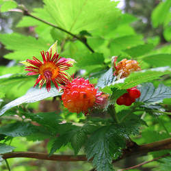 Rubus spectabilis Salmon Berry, Salmonberry seed for sale