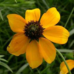Rudbeckia amplexicaulis Clasping Coneflower seed for sale