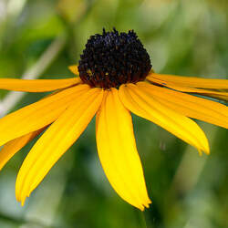 Rudbeckia fulgida   Goldstrum Showy Coneflower, Orange Coneflower seed for sale