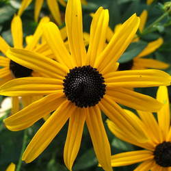 Rudbeckia fulgida Orange Coneflower, Showy Coneflower seed for sale