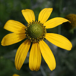 Rudbeckia laciniata Cutleaf Coneflower seed for sale