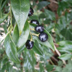 SARCOCOCCA confusa Sweet Box, Christmas Box seed for sale