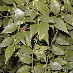 SARCOCOCCA ruscifolia Fragrant Sarcococca, Sweetbox, Common Sarcococca, Fragrant Sweetbox seed for sale
