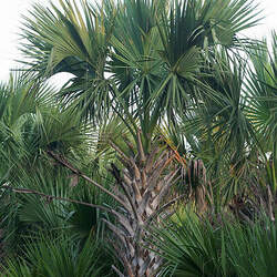 Sabal mexicana Texas Palmetto, Rio Grande Palmetto, Mexican Palmeto seed for sale
