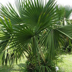 Sabal minor Dwarf Palmetto seed for sale