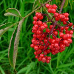Sambucus pubens Scarlet Elderberry, Red Elderberry seed for sale