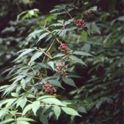 Sambucus williamsii North China Red Elder seed for sale